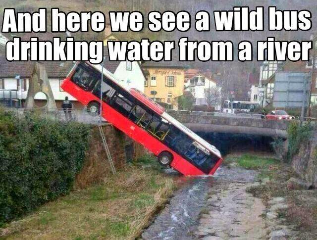Wild bus drinking water from river