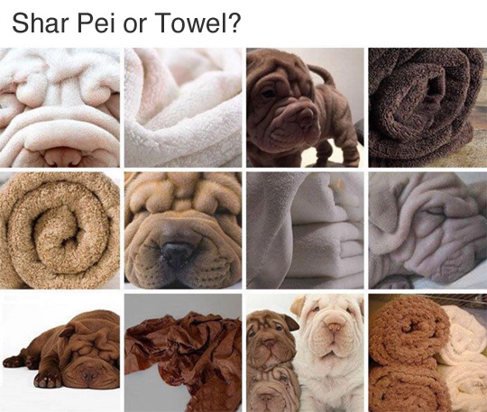 Shar Pei or Towel